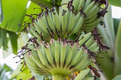 Young green banana fruits on tree. In the farm Royalty Free Stock Photo