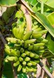 Young green banana Stock Photo