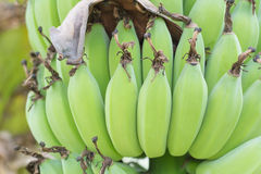 Young green banana. Royalty Free Stock Photography