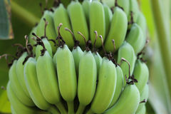 Young green banana Royalty Free Stock Images