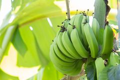 Young green banana on tree. Unripe bananas close up. Green Raw Bananas. Young green banana on tree. Unripe bananas close up Stock Photos