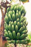 Young green bananas Royalty Free Stock Images