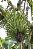 Young green bananas Royalty Free Stock Photo