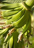 Young green bananas Stock Image