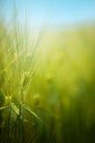 Young green barley crop field Royalty Free Stock Photo