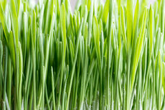 Young green barley grass growing in soil. Young green barley grass growing indoors in soil Royalty Free Stock Photography