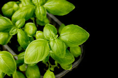 Young green basil plant on black background Royalty Free Stock Photos