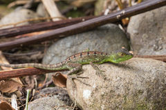 Young green basilisk in Costa rica. / wildlife stock images