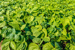 Young Green Bean plants in a sunny field Stock Photo
