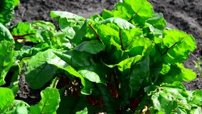 A young green beetroot on bed stock video