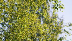 Young green birch branch sways in the wind.