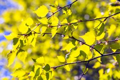 Young green birch tree leaves Royalty Free Stock Image