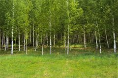 Young green birch trees in early spring. Picture taken in Russia.Young birch and grass transmit deep color early spring Royalty Free Stock Photo