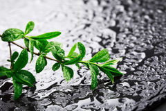 Young green branch on stone surface Royalty Free Stock Photo