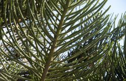 Young green branches of evergreen coniferous tree Araucaria Araucaria closeup. royalty free stock photos