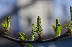 Young green buds of bird-cherry tree in Spring Garden in sunny weather stock image