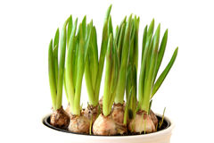 Young green bulbs Royalty Free Stock Photography
