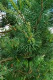 Young green bump on a beautiful pine branch.  stock image
