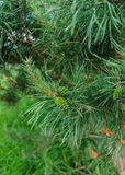 Young green bump on a beautiful pine branch.  stock images