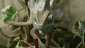 Young green chameleon changes his skin stock video footage