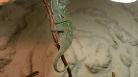 Young green chameleon changes his skin. Young green chameleon on the twig changes his skin stock video footage