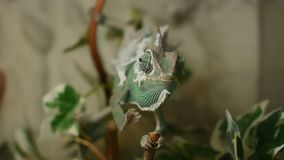 The young chameleon in the leaves is changing his skin. The young green chameleon in the leaves is changing his skin and he is cross eyed stock video footage