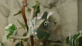 The young chameleon in the leaves is changing his skin. The young green chameleon in the leaves is changing his skin and he is cross eyed stock footage