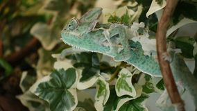 The young chameleon in the leaves is changing his skin. The young green chameleon in the leaves is changing his skin and he is eating stock video