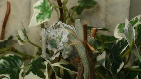 The young chameleon in the leaves is changing his skin. The young green chameleon in the leaves is changing his skin stock footage