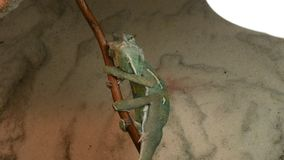 Young green chameleon changes his skin. Young green chameleon on the twig changes his skin stock video