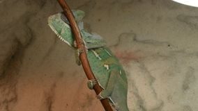 The young chameleon on the twig is changing his skin. The young green chameleon on the twig is changing his skin stock video