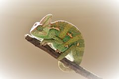 Young green chameleon on the twig stock photo