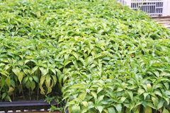 Young green chili peppers , plant nurseries royalty free stock photo
