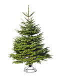 Young green Christmas tree Royalty Free Stock Photo