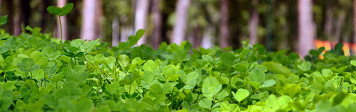 Young green clover. In a blur Stock Images