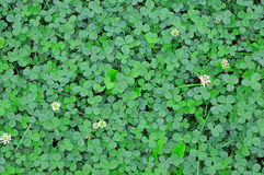 Young green clover in the rain drops as background Stock Photos