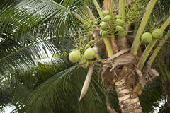 Young green coconut fruit on coconut tree. Stock Photo