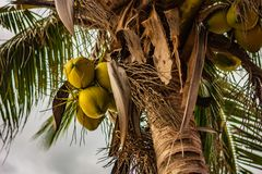 Young green coconuts on a coconut palm royalty free stock photo