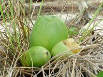 Young green coconuts Cocos nucifera in a grass nest. In a grass nest on a Caribbean beach Royalty Free Stock Images
