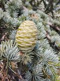 Young green cone cedar stock images