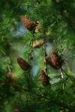 Young green cones on a tree stock image