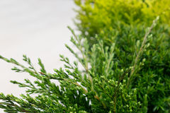 Young green conifer branches close up with blur on white background. Stock Photo
