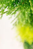 Young green conifer branches  close up with blur on white  background. Stock Image