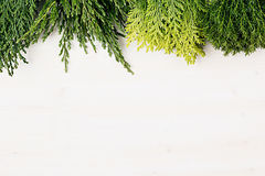Young green conifer branches with copy space on white wooden table background. Stock Photo
