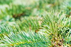 Young green coniferous branch of a pine Stock Photography