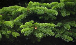 Young green coniferous spruce branches close-up Royalty Free Stock Photography