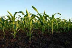 Young green corn Royalty Free Stock Photo