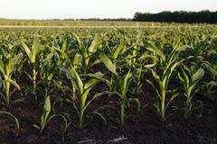 Young green corn Royalty Free Stock Images