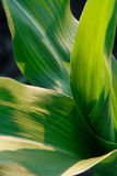 Young green corn Royalty Free Stock Image