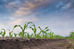 Young green corn in agricultural field Stock Image